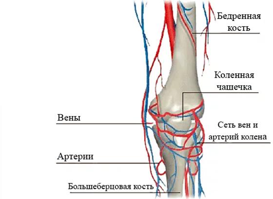 Кровоснабжение колена