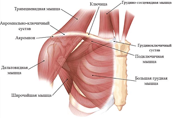 Мышцы и связки, окружающие ключицу