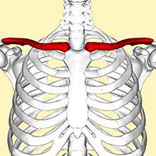 Ключица человека: анатомия, строение, функции