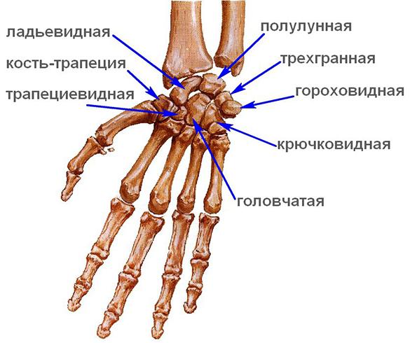 Изображение - Лучезапястный сустав руки kost_1