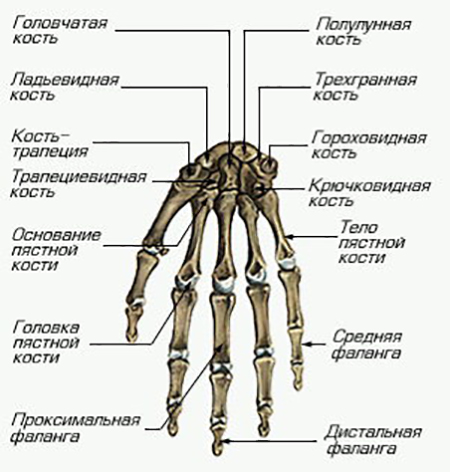 Изображение - Лучезапястный сустав руки skel_kis