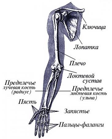 Изображение - Лучезапястный сустав руки str12