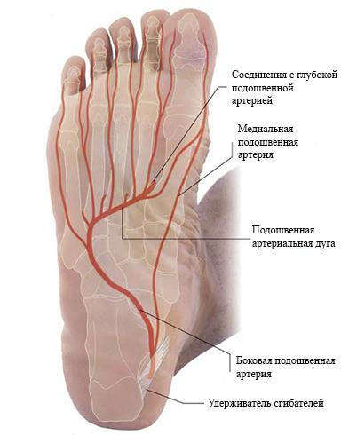 Кровоснабжение подошвы стопы