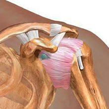 Плечевой сустав — функции, строение и кровоснабжение