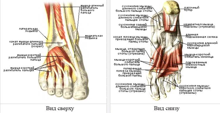 Мышцы и связки стопы