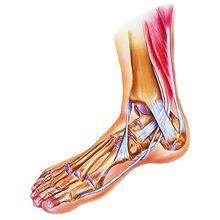 Голеностопный сустав и связки: анатомия, строение, функции