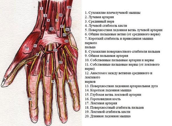 Кровоснабжение лучезапястного сустава