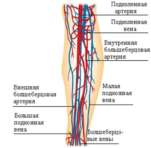 Кровоснабжение голеностопа