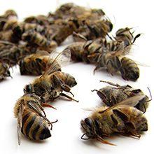 Пчелиный подмор для суставов: полезные свойства и рецепты