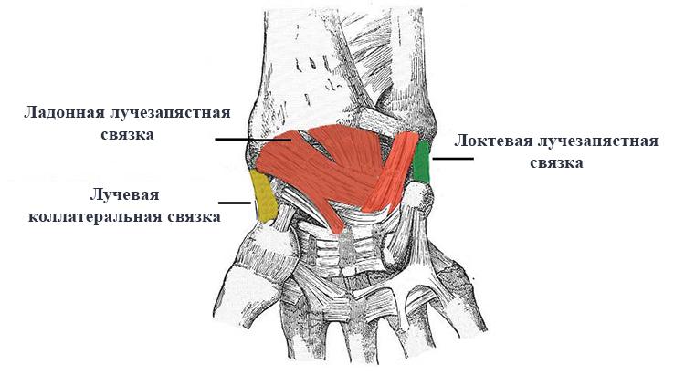 Изображение - Суставная капсула лучезапястного сустава svyazki