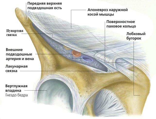 Анатомия паха и пупартова связка